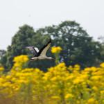 Storch_im_Flug